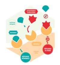 Votre ostéopathe à Paris 3 et Paris 12 : Perturbateurs endocriniens